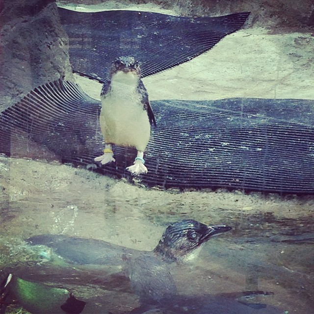 penguins-taronga-zoo